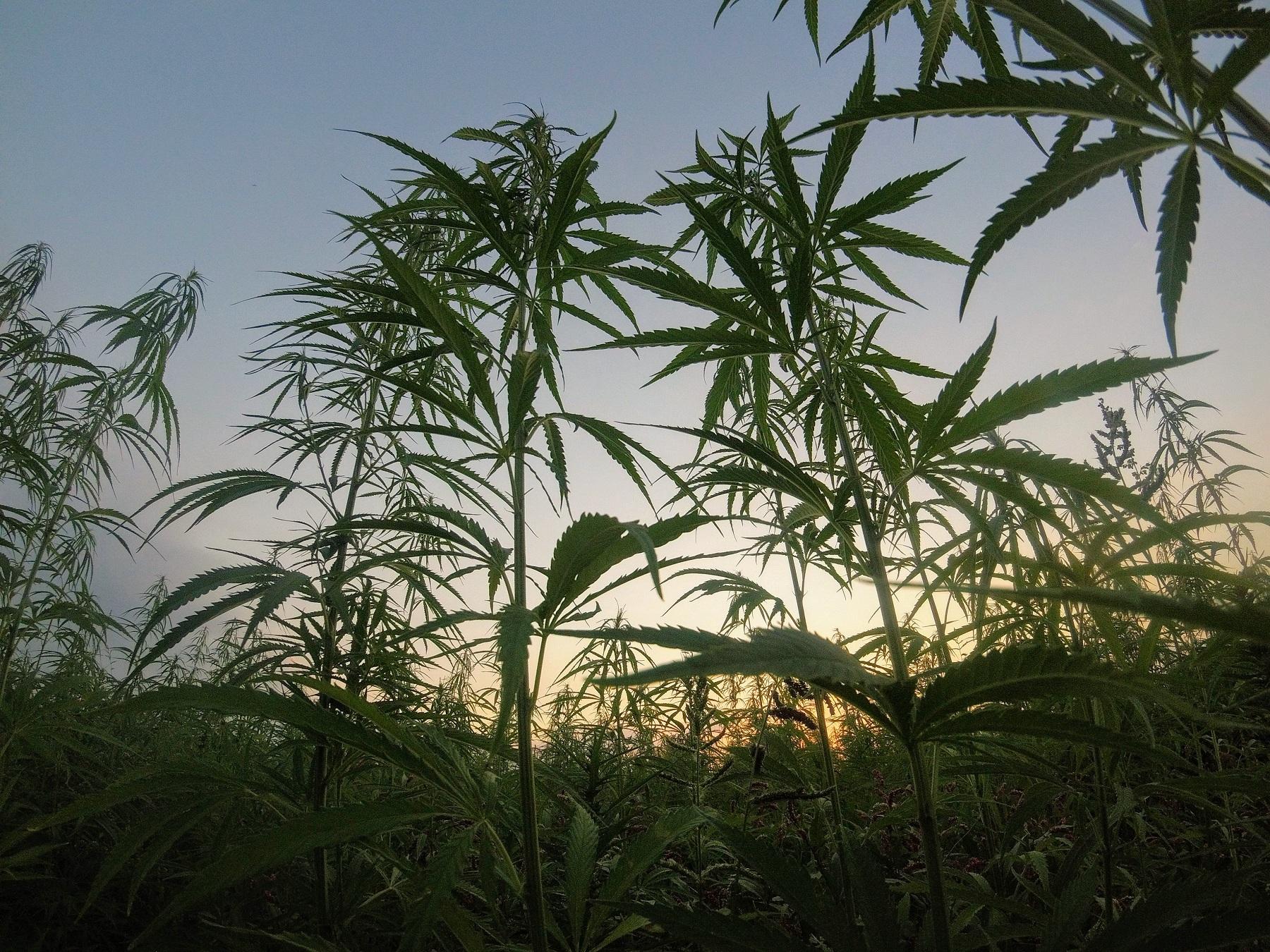 В Україні легально виготовлятимуть ліки з марихуани (оновлено: насправді ні)