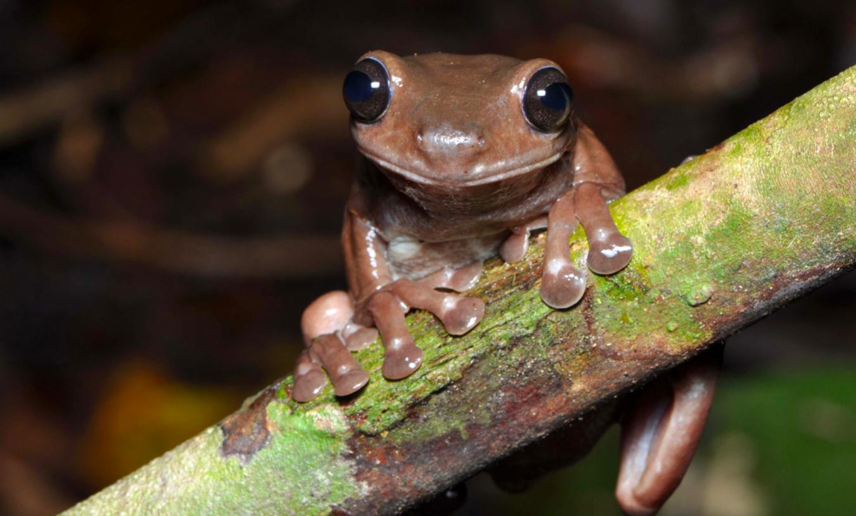 🐸 Науковці відкрили новий вид «шоколадних жаб»